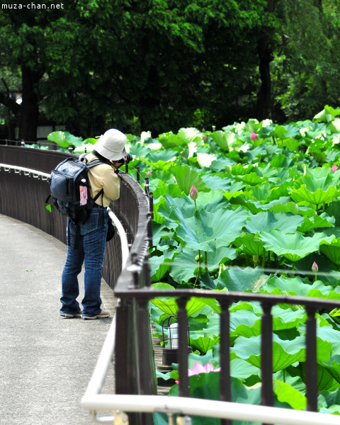 Lotus Shinobazu Pond Ueno