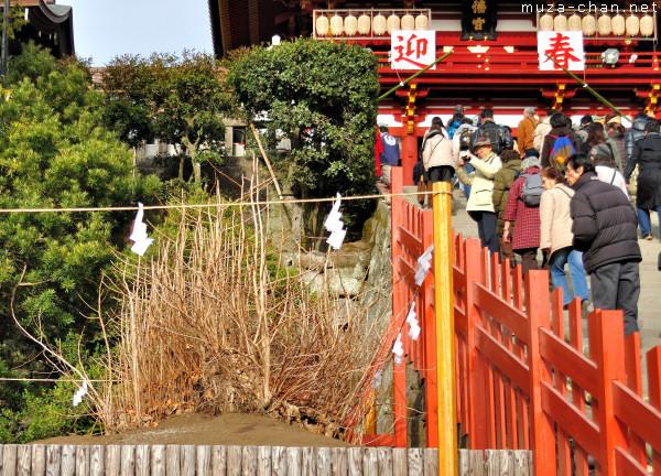 The replanted Ginkgo Tree from Tsurugaoka Hachimangu Shrine, Kamakura