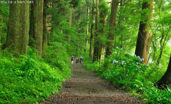 Cedar Trees, old Tōkaidō road, Hakone