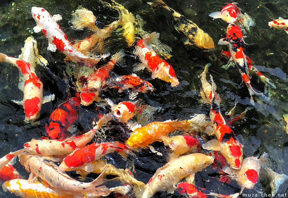 Hungry japanese koi for Japanese koi