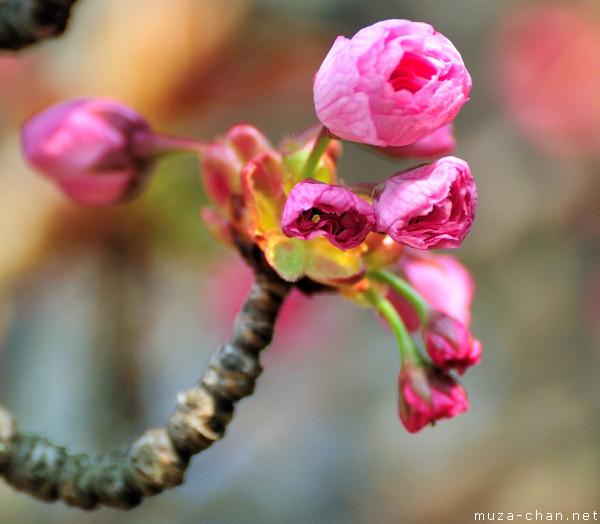 Sakura bud