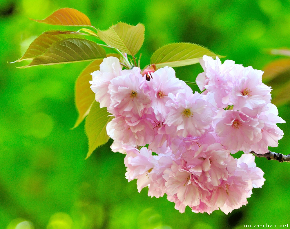 Spring Pink Cherry Blossom Tree Grass background polyester