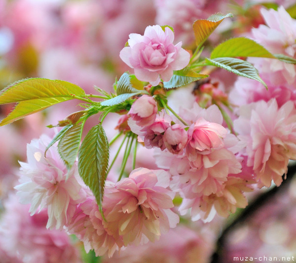 Sakura flower