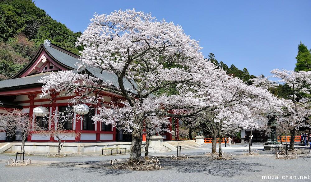 Cherry blossoms and white paper lanterns at Mount Kurama ...
