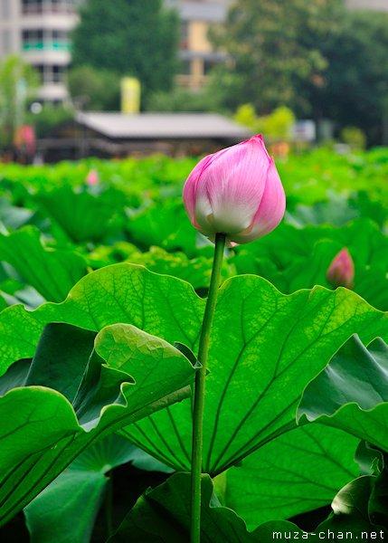 Lotus flower, Shinobazu Pond, Ueno, Tokyo