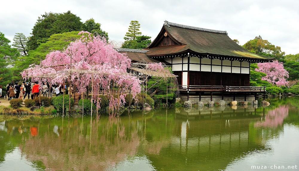 Shidarezakura Weeping Cherry Trees