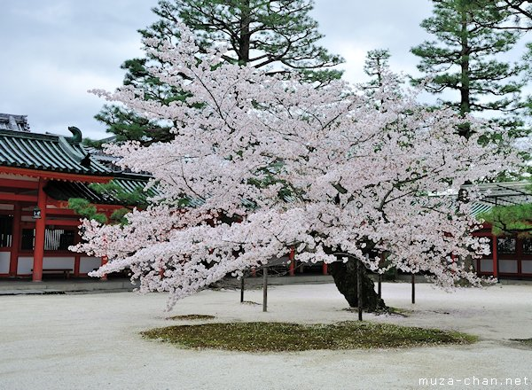 Sakura tree, Heian Shrine, Kyoto