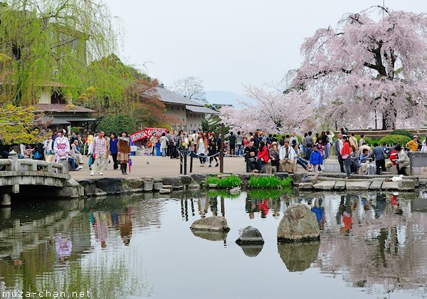 Gion Shidare Sakura, Maruyama Park, Kyoto