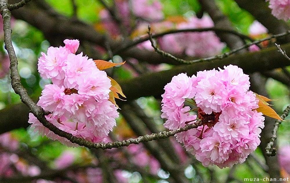 Japanese Cherry Tree Varieties Kanzan