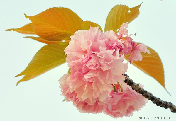 Kanzan sakura flower
