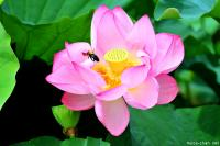 Blossoming Lotus in Shinobazu Pond