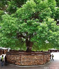 Shinto Ema and Sacred Camphor Tree