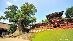Amazing 1000 years old tree in Nara