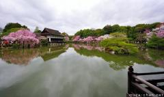 Simply beautiful Japanese scenes, cherry tree lined pond