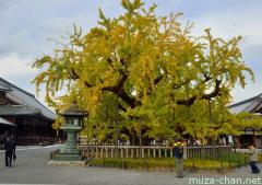 The 400 years old legendary Ginkgo tree of Nishi Hongan-ji