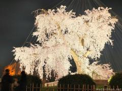 Yozakura, Hanami special night illumination in Kyoto
