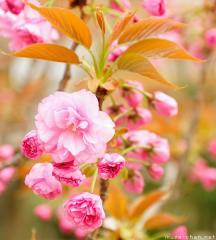 Japanese cherry tree varieties, Kanzan