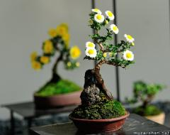 Chrysanthemum bonsai