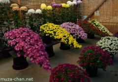 Chrysanthemum display, overhanging cliff form