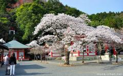 Defining images of Japan, blooming Sakura cherry trees