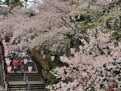 Maruoka Castle Park, one of Japan's Top 100 Cherry Blossom Spots