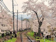 Keifuku, a railway winding between Sakura cherry trees