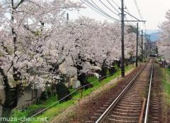 Cherry blossoms tunnel on Keifuku line, Kyoto