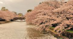 Blooming cherry trees lining a river in Kyoto