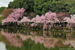 Shidare Sakura along the lake shores at Heian Jingu, Kyoto