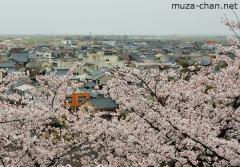 The cherry blossoms of the Maruoka castle
