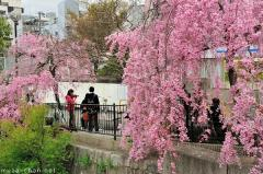 Simply beautiful Japanese scenes, cherry blossoms in Kyoto
