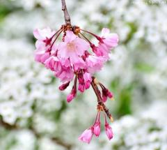 Japanese cherry tree varieties, Shidarezakura
