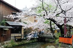 Simply beautiful Japanese scenes, blooming sakura cherry tree