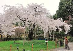 The power of a lone cherry tree