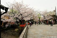 Popular cherry blossoms venues, Shirakawa-dori