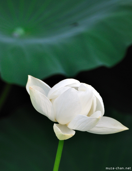 Lotus flowers at Tsurugaoka_Hachimangu Shrine Kamakura