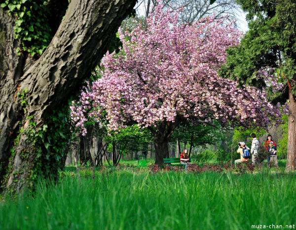 Sakura at Bucharest Botanical Garden