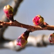 Sakura buds at Bucharest Botanical Garden
