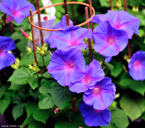 morning-glory-1.jpg