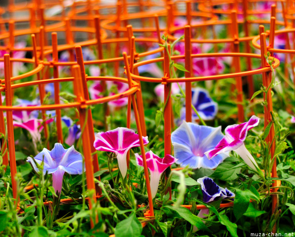 morning-glory-8.jpg