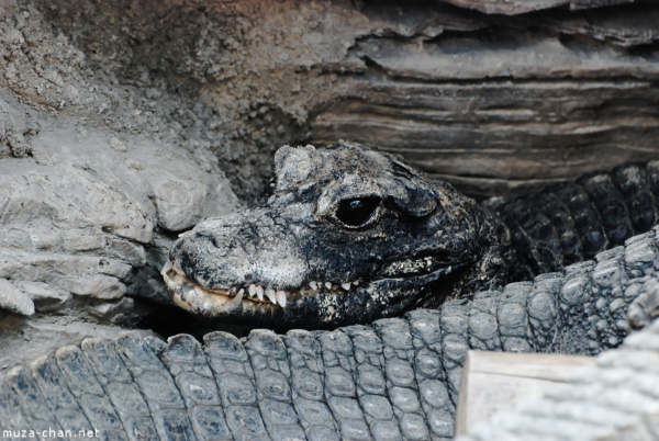 zoo-ueno-crocodil.jpg
