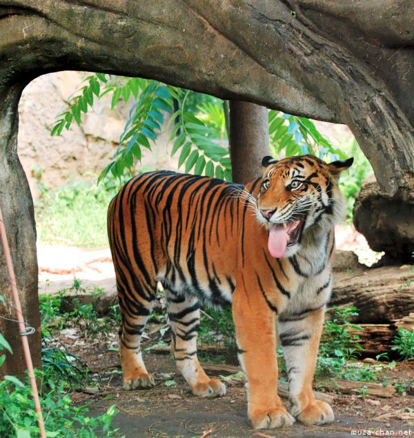 Ueno Zoo Sumatra Tiger